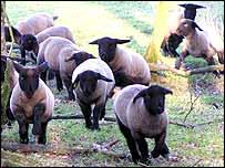 Sheep   CIWF
