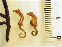 H. denise, Project Seahorse/J Adam