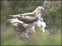 Hen Harriers at the Geltsdale Reserve