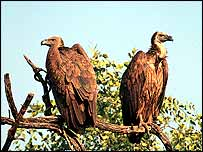 Two vultures in tree   Guy Shorrock/RSPB