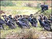 Vulture flock   Asad Rahmani