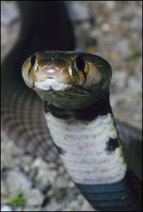 Nubian spitting cobra : picture copyright Dr Wolfgang Wüster