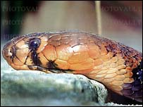 Red spitting cobra : picture from www.photovault.com