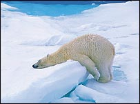 Bear on ice   Jan Belgers/Oceanwide Expeditions