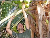 coconuts in Petrolina