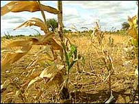 Crops destroyed by drought
