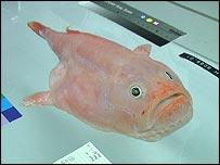 Coffin fish, NOO