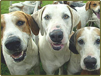 Fox hounds