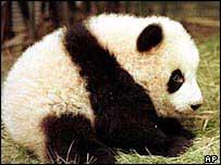 Panda    AP