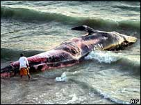 Stranded blue whale   AP