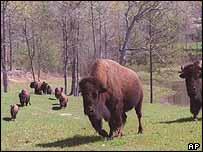 Buffalo   AP