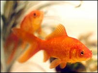 the day my goldfish died My gold fish died an hour after they were in clorinated water use a declorinated chemical or use fresh water the day the goldfish died more questions why did my goldfish die my goldfish died answer questions looking for an aquatic pet, any ideas.