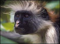 Zanzibar Red Colobus: Image Richard Edwards
