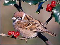 Tree sparrow: Image Mike Wilkes/naturepl.com