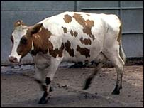 BSE cow