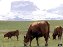 Cattle grazing in Alberta