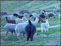 Peruvian livestock, BBC