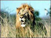Lion   PA