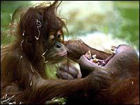 Orang-utan and baby   AP