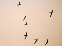 Nesting swifts (Picture courtesy of the RSPB)