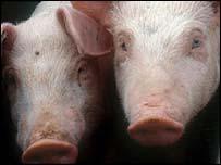 Pigs, BBC