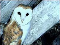 Barn owl, RSPB