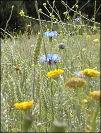 Arable plants, BBC