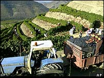 Harvesting grapes in Northern Portugal