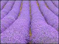Lavender field in Norfolk, BBC