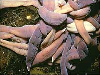 Giant ribbon worms   British Antarctic Survey