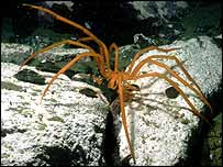 Antarctic sea spider   British Antarctic Survey