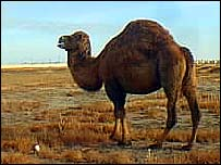 Kazakh camel   Alex Kirby
