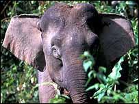 Elephant full-face   WWF-Malaysia