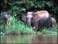 Elephants by river   WWF-Malaysia
