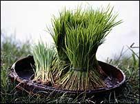 Rice   Monsanto