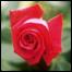 Lancashire red rose