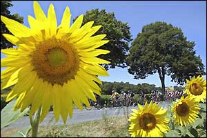 The peloton rides past sunflowers