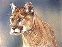 The big cat is thought to be a puma