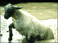 Sheep being dipped