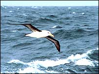 Black-browed albatross   Richard Thomas/BirdLife