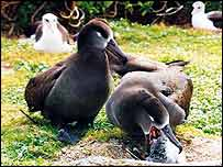 Black-footed albatrosses feeding chicks   Kathy Cousins