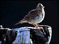 Skylark on tree stump   RSPB