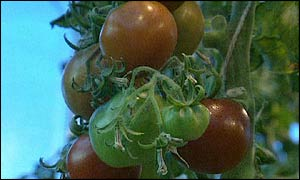 Genetically Modified Tomatoes