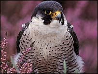 Peregrine falcon -  Geoff Simpson/RSPB Images