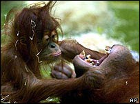 Orang-utan parent and child   AP