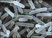 Bacterial batteries a possibility