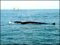Fin whale on surface   NOAA