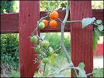 10 tomatoes