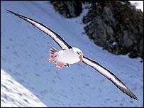 Black-browed albatross   K Reid/BAS
