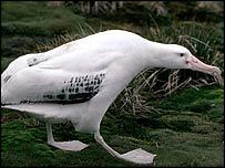 Wandering albatross   P Bucktrout/BAS